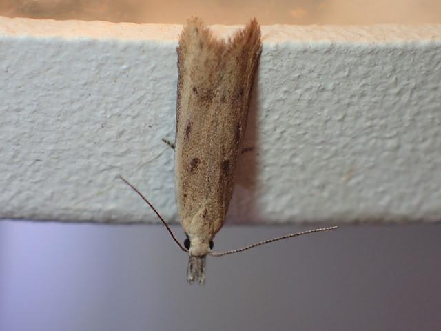 Mesophleps corsicella