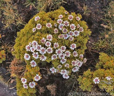 Xenophyllum pseudodigitatum