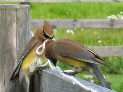 Cedar waxwings with yarn