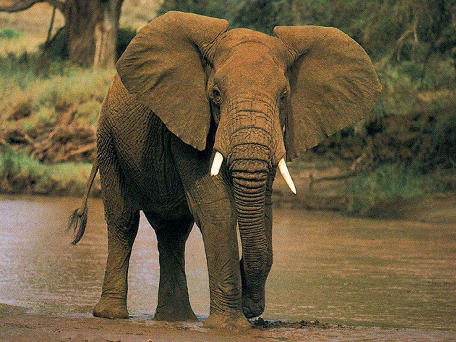 wallpaper: African Elephant Wallpapers