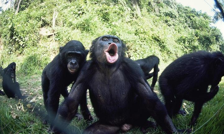 Di Dunia Bonobo, Semua Masalah Bisa Diselesaikan dengan Seks