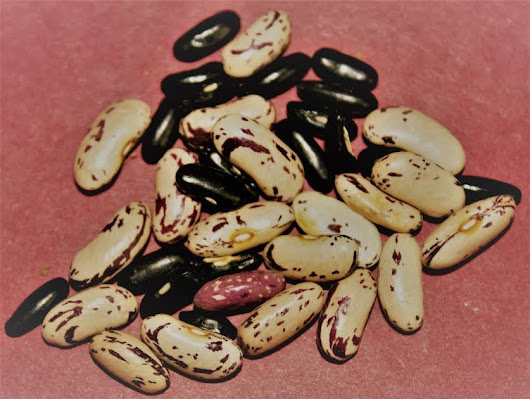 Saved Bean Seeds