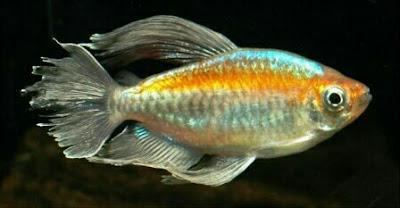 ikan cango tetra