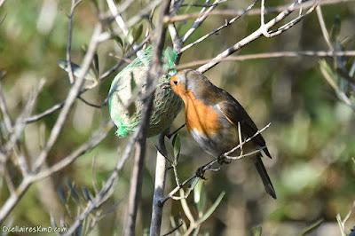 Pit-roig alimentant-se d'una bola de sèu, a l'hivern