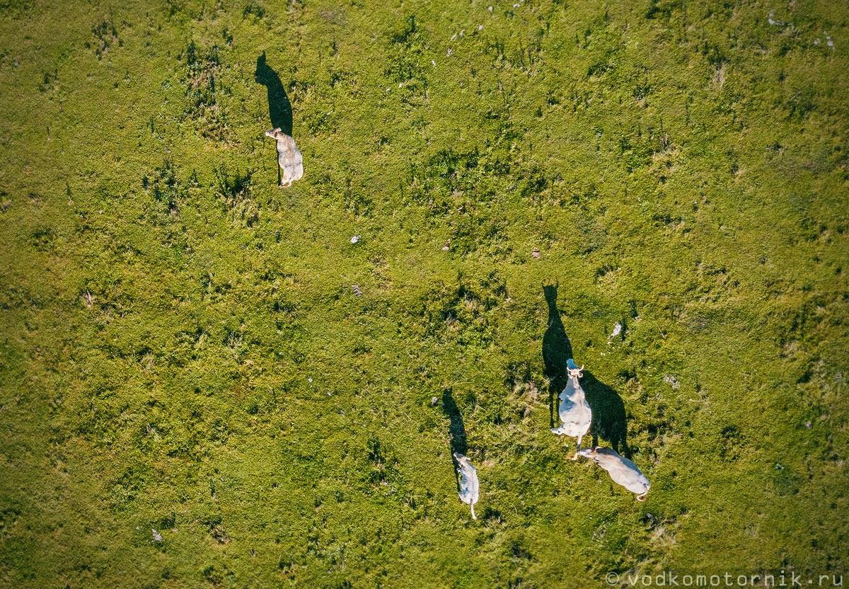 Дикие коровы мирно пасутся на берегу реки Лава