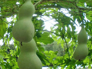 Bottle gourd fruit images wallpaper