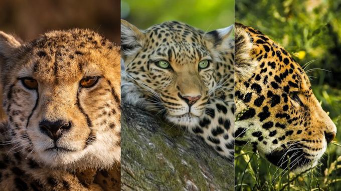 Cheetah Vs Leopard vs Jaguar