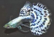 Harga Ikan Guppy Cobra mozaic halfmoon ribbon Tahun 2016 - 2017
