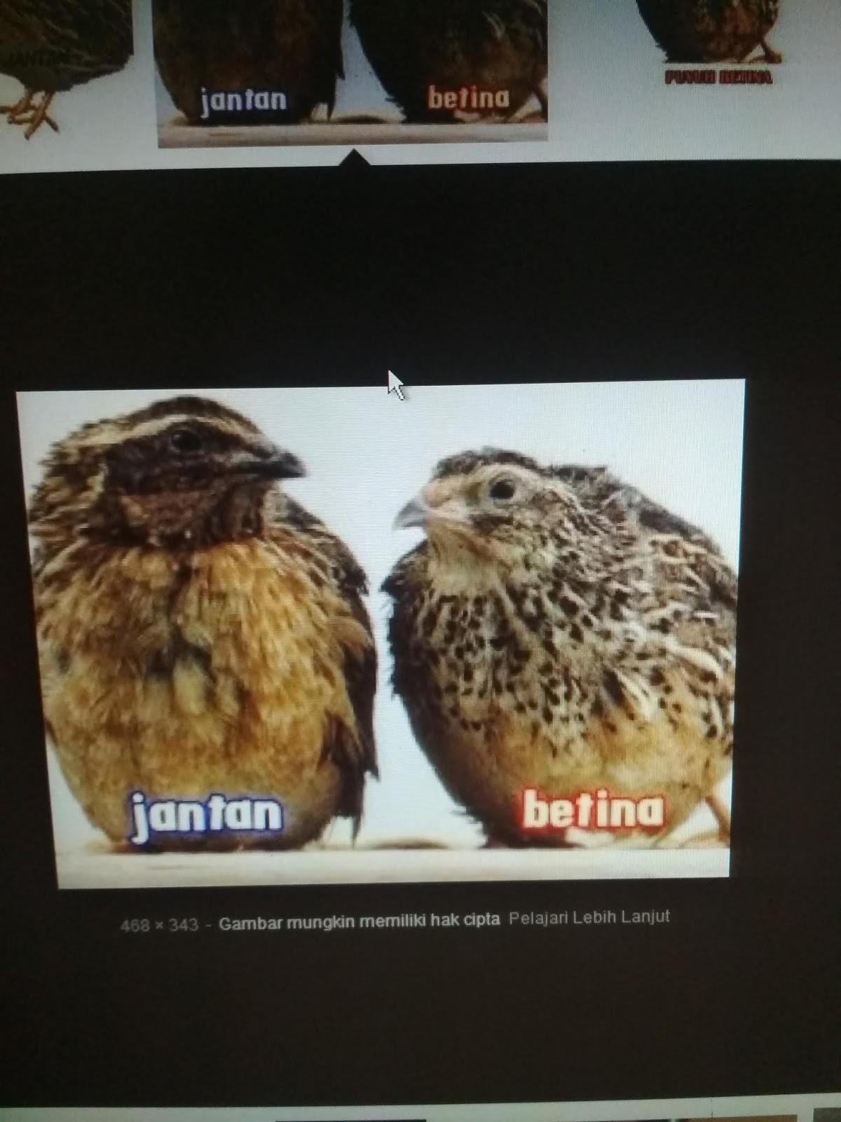 Cara Membedakan Burung Manyar Jantan dan Betina Dari