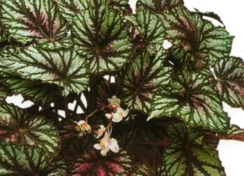 Piante e fiori begonia rex for Begonia pianta