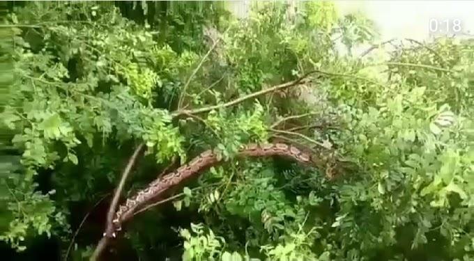 Morador filma Jibóia em árvore na ponte de Carnaíba