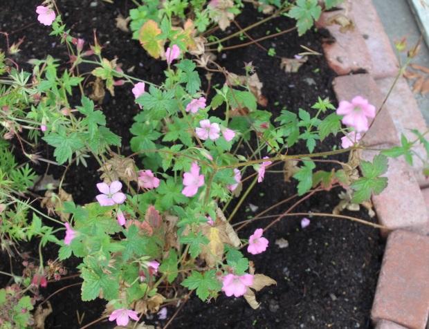 Neidonkurjenpolvi kukkii.