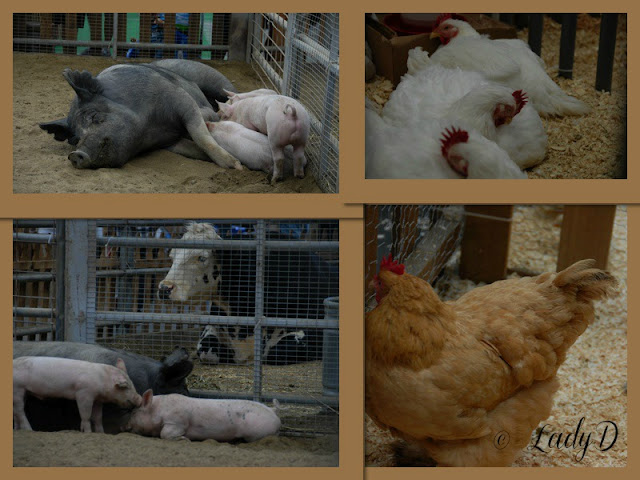 pigs and chickens at the Del Mar Fair: LadyD Books