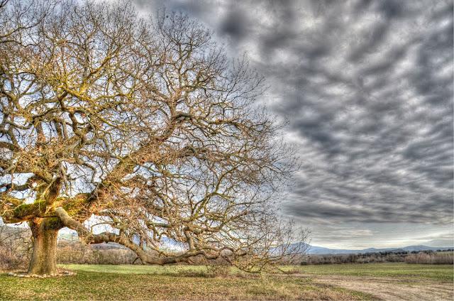 Val d'Orcia, la quercia delle Checche