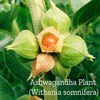 ashwagandha is a plant that may help with the main symptoms of EBV