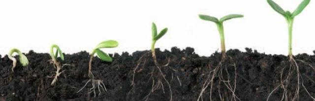 Sistema Radicular plantas
