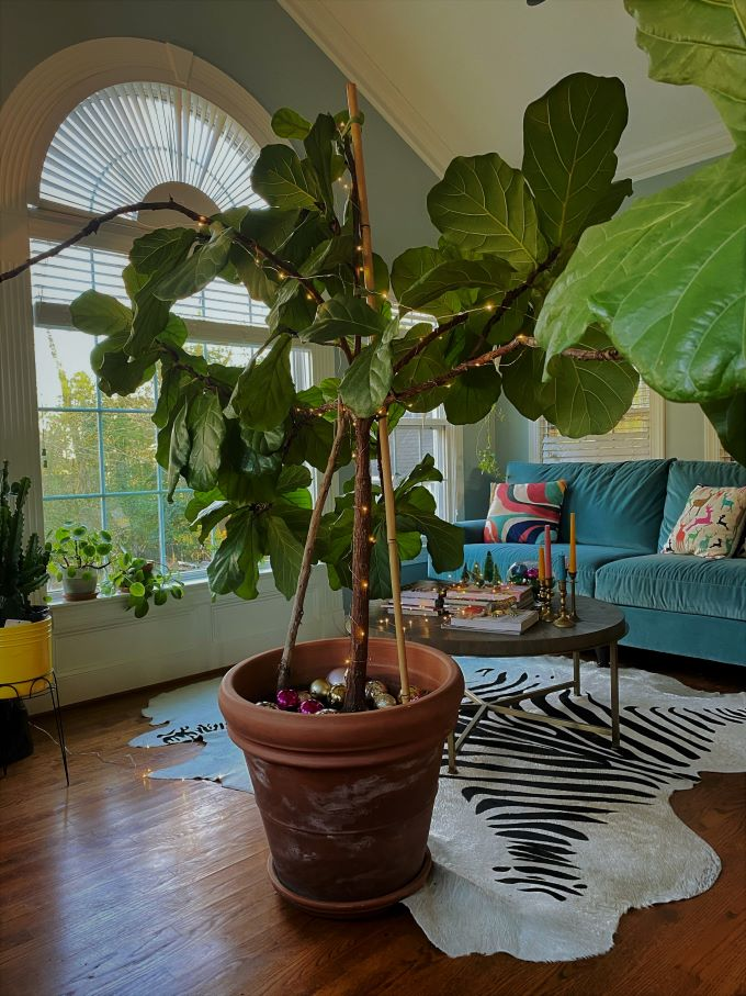 Fiddle leaf fig wrapped in twinkly lights
