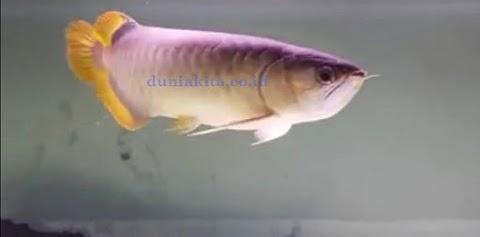 Cara Memilihara Ikan Arwana Untuk Usaha