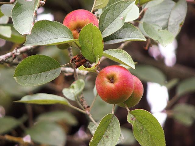 Charlotte facile et rapide avec des pommes bio