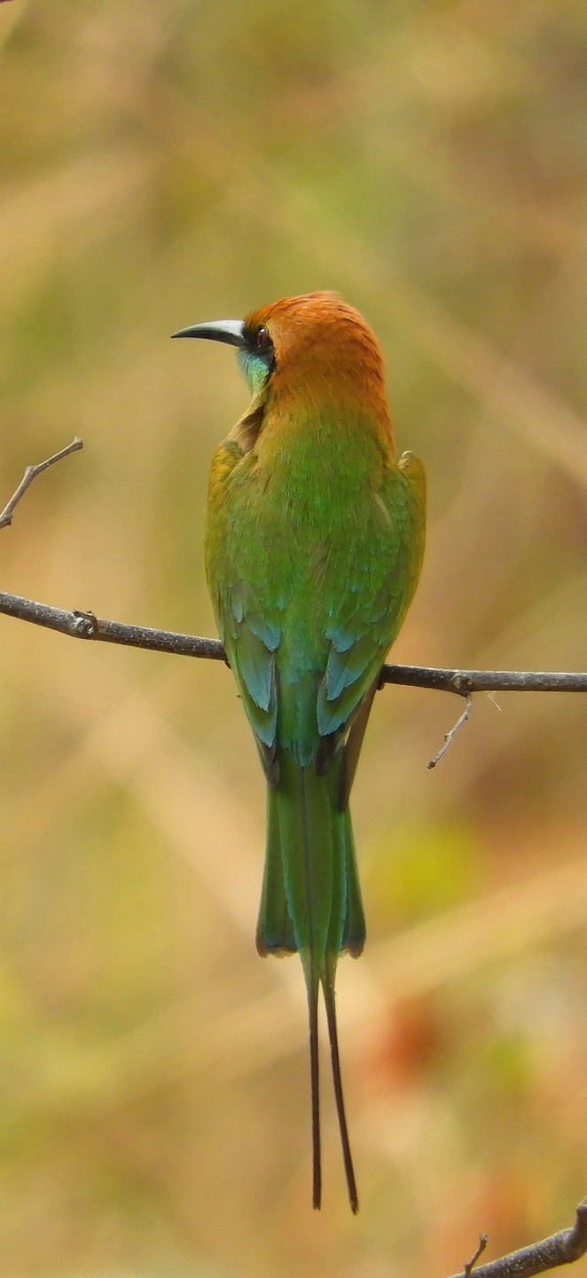 A rear view of a green bee-eater.