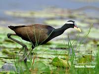 Burung Tiker, Burung Air yang Tidak Pandai Berenang, Tapi Mampu Berlari di Atas Tanaman Air