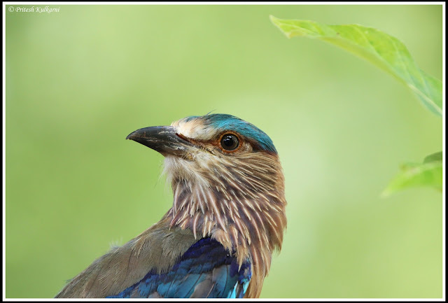 Indian Roller at TATR