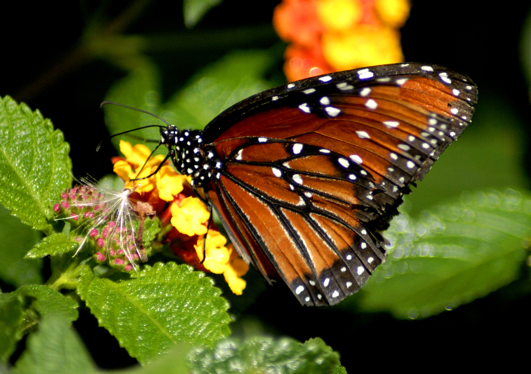 Butterfly Life Cycle - The Caterpillar | picture of ... Pictures Of Butterflies