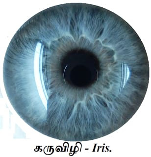 Physiology general knowledge iris