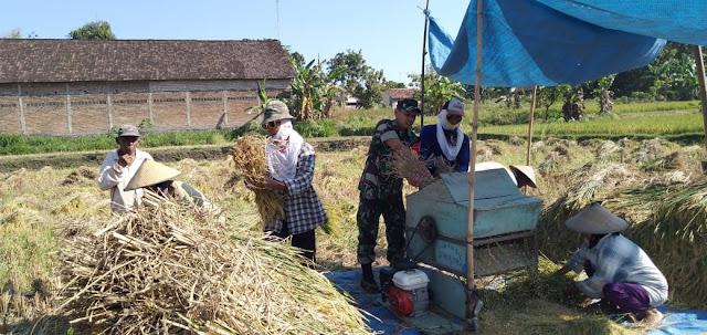 Dampingi Petani Panen Padi Inpari 33, Babinsa Gemolong Turun ke Sawah