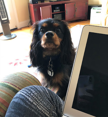 The Writer's Pet: Nicole Blades' dog Murphy looks at her while she writes on her laptop.
