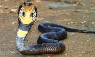 racun mematikan ular king kobra