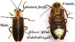 Photuris firefly.