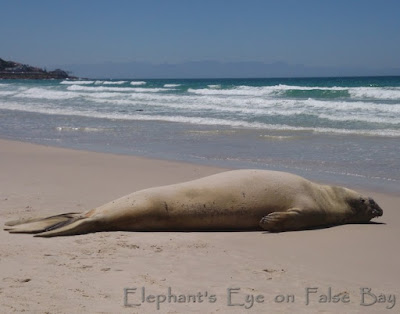 2019 Elephant seal Buffel before moulting 28th January