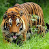 Tigers killing, eating elephants in Corbett National Park: Govt study reveals worrying phenomenon