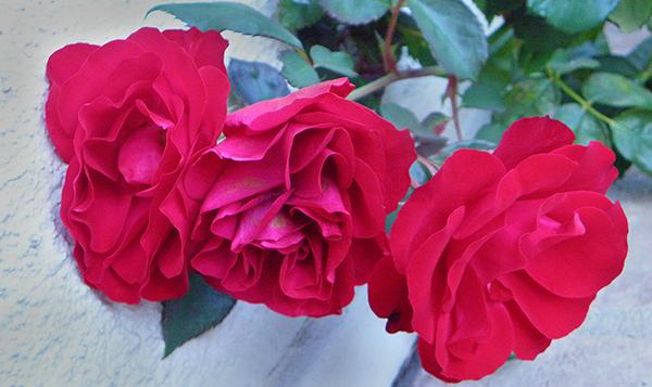 3 bright red, slightly floppy rose blossoms