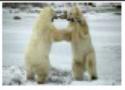 صراع الدببة