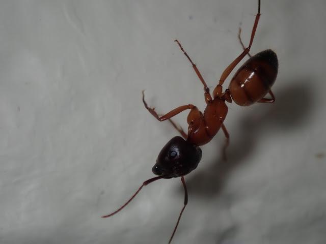 Camponotus semitestaceus
