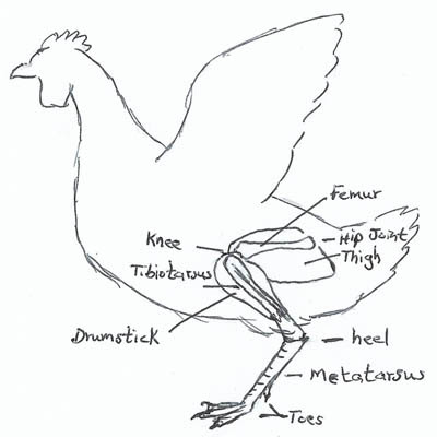 Sketch of chicken showing legs and feet bones