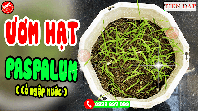 Cách ươm hạt giống cỏ paspalum chịu ngập úng