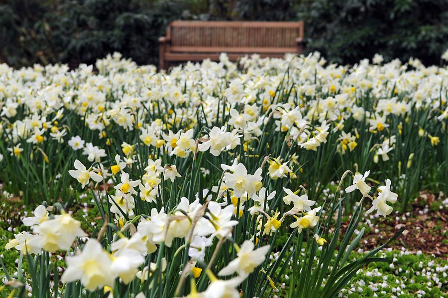 Flores blancas de narcisos miniatura o enanos