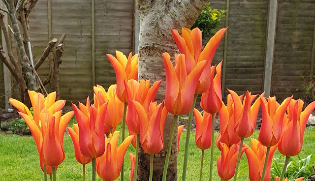 How to grow tulip bulbs