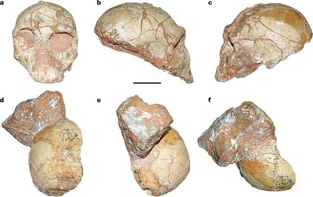 Cranis Apidima Neanderthal Sapiens