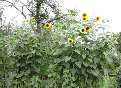 Bright yellow sunflowers with brown centers and green leaves grow along a fence.
