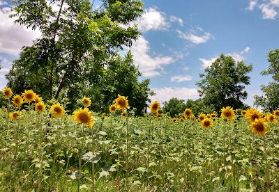 pretty sunflowers in a field
