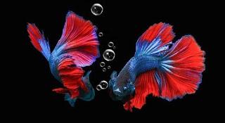 10 Langkah Cara Mengawinkan Ikan Cupang Sampai Panen Anakan