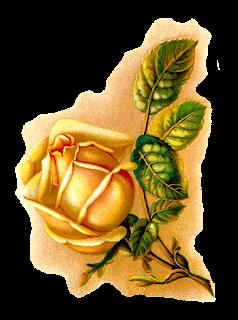 rose flower illustration botanical vintage art