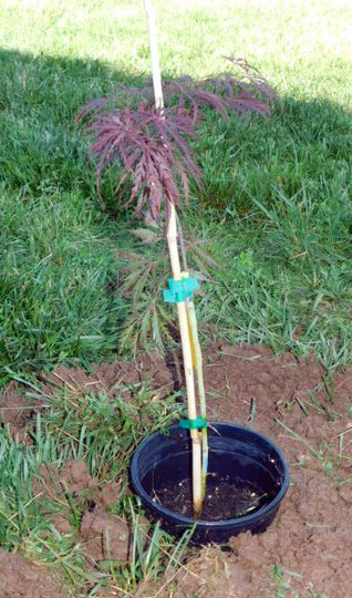 Midway Messenger: Northside Elementary plants a tree to honor ...