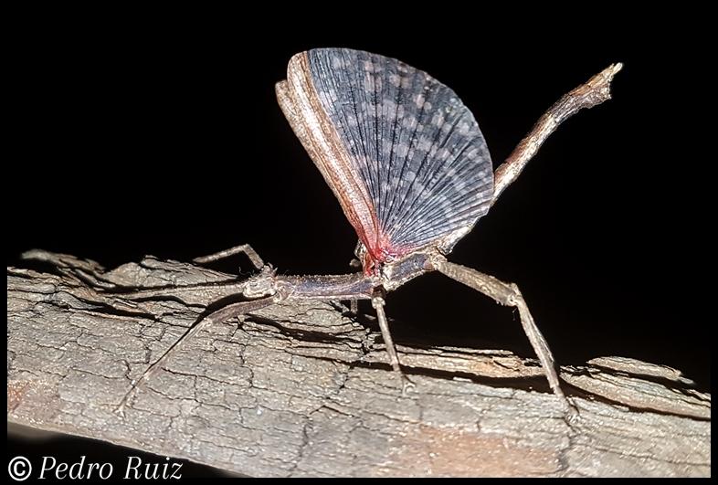 """Macho adulto (alas extendidas) de Hesperophasma sp. """"La Cienaga"""", 5 cm de longitud"""