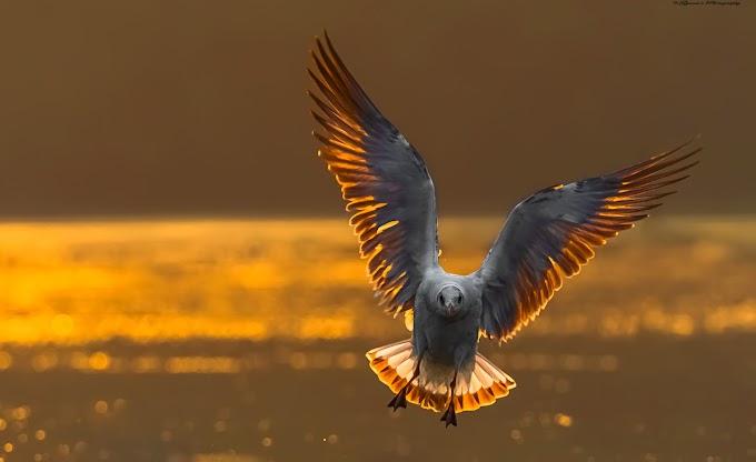 Back light effect on brown headed gull during sunrise