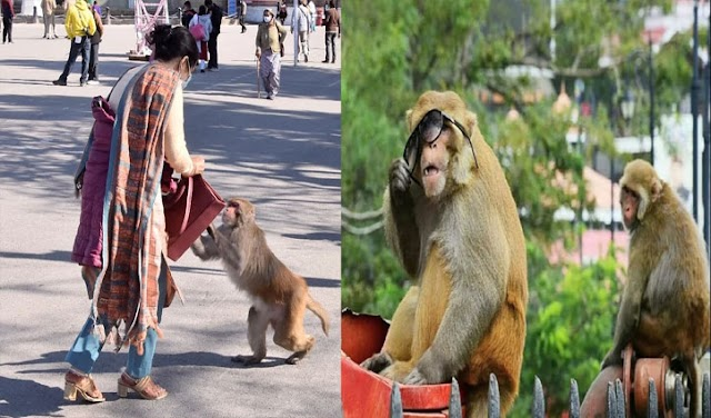 हिमाचल: लोगों का सामान छीन ब्लैकमेल करता था बंदर, DC दफ्तर के पास पकड़ा गया